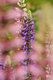 Lupine II. A closeup picture of a lupine flower stock photos