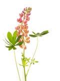 Lupine kwiat na białym tle Obraz Royalty Free