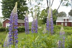 Lupine kwiaty Zdjęcie Stock
