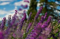 Lupine kwiaty Fotografia Stock