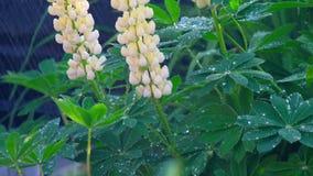 Lupine kwitnienie pod lato deszczem zbiory