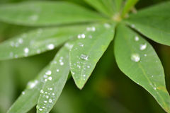 Lupine Leaf. Covered in raindrops Royalty Free Stock Images