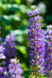 Lupine, lupin. A plant of the pea family, with deeply divided leaves and tall, colorful, tapering spikes of flowers stock image