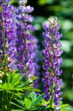 Lupine, lupin. A plant of the pea family, with deeply divided leaves and tall, colorful, tapering spikes of flowers stock photos