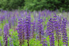 Lupine Lupinus. Lupins Lupine, are a plant genus in the subfamily of the flowering plants Faboideae royalty free stock photos