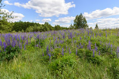 Lupine meadow. Blue flowering lupine meadow on a sunny summer day Stock Image