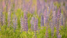 Lupine meadow stock footage