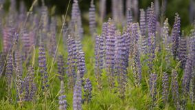 Lupine in meadow stock video