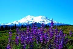 Lupine Mt Shasta Стоковые Фото