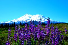 Lupine of Mt Shasta Stock Photos