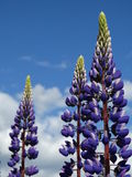 Lupine. Nature Outdoor Outdoorlife Wildflowers Flowers Summer Sun Plants Stock Photo