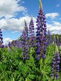 Lupine. Nature Outdoor Outdoorlife Wildflowers Flowers Summer Sun Plants Stock Photos