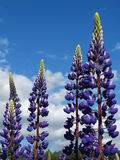 Lupine Stock Images