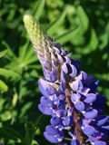 Lupine. Nature Outdoor Outdoorlife Wildflowers Flowers Summer Sun Plants Royalty Free Stock Photos