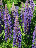 Lupine. Nature Outdoor Outdoorlife Wildflowers Flowers Summer Sun Plants Stock Images
