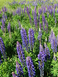 Lupine. Nature Outdoor Outdoorlife Wildflowers Flowers Summer Sun Plants Royalty Free Stock Image