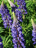 Lupine. Nature Outdoor Outdoorlife Wildflowers Flowers Summer Sun Plants Royalty Free Stock Photo