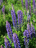 Lupine. Nature Outdoor Outdoorlife Wildflowers Flowers Summer Sun Sky Clouds Plants Stock Images