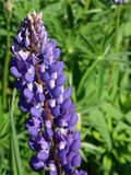 Lupine. Nature Outdoor Outdoorlife Wildflowers Flowers Summer Sun Sky Clouds Plants Royalty Free Stock Photography