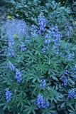 Lupine, Near Wonderland Trail, Mt. Rainier National Park, Washington State, Pacific Northwest. Lupine, Saffire Blue Jewels, cascade mountains, pacific northwest royalty free stock photo