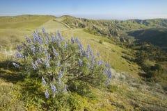 Lupine púrpura que pasa por alto la ruta cercana 166 del club de la montaña del pino y el camino de Sierre Noeste en Kern County, Foto de archivo libre de regalías