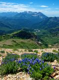 Lupine Patch. American Forks Twin Peaks, Utah Royalty Free Stock Photo