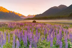 Lupine purple colour in mountain, New Zealand. Natural landscape background royalty free stock photos