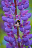 Lupine. Purple lupine with cute bee Stock Images