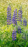 Lupine in rain. Purple lupine in fresh green wild meadow and rain royalty free stock images