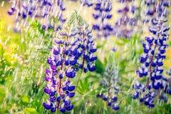 Lupine in rain. Purple lupine in fresh green wild meadow and rain stock photos