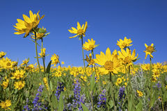 Lupine und Arnika Wildflowers Lizenzfreie Stockfotos