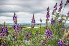Lupine växa för blommor på kusterna av Alviso träsk, Don Edwards Wildlife fristad, San Jose, Kalifornien royaltyfri fotografi