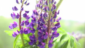 Lupine in vase on the windowsill, close up. Full HD stock video footage
