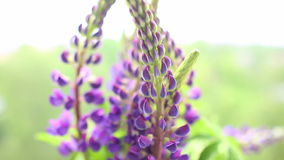 Lupine in vase on the windowsill, close up. Full HD stock footage