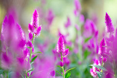 Lupine. Violet lupine flower in thailand Royalty Free Stock Images