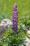 Lupine w ogródzie Zdjęcie Royalty Free