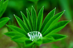 Lupine Water Drop. Garden lupine plant filled with rain droplet. After heavy rain this green plant holds a perfect drop of water in between its bright green Stock Photography