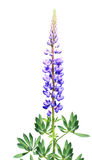 Lupine on a white background. Branch blossoming of lupine isolated on a white background Royalty Free Stock Photos