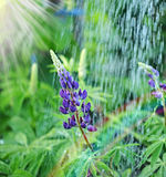 Lupine wild flower Stock Photography