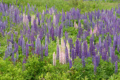 Lupine Wild Flowers in Maine Countryside. Pink and purple lupine wildflowers of the Maine countryside and coastal areas Royalty Free Stock Images