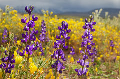 Lupine Wild Flowers Royalty Free Stock Image