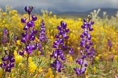 Lupine Wild Flowers Royalty Free Stock Image