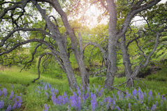 Lupine Wild Flowers Under the Trees Royalty Free Stock Images