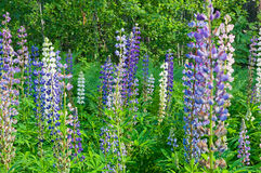 Lupine wildflowers Royalty Free Stock Photo