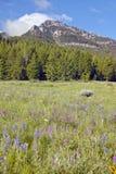 Lupine y montañas púrpuras en valle centenario cerca de Lakeview, TA Foto de archivo