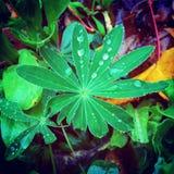 Lupineblad Royaltyfria Foton