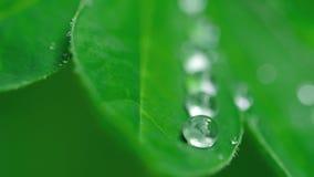 Lupineblad med regndroppar stock video