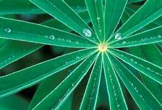 Lupinebladeren met dauwdalingen Royalty-vrije Stock Foto's