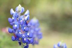 Lupinebloemen Stock Foto
