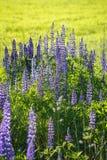 Lupinebloemen Royalty-vrije Stock Foto's